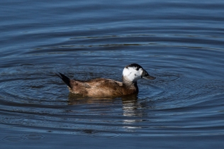White-headed Duck © Inglorious Bustards