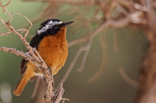 Moussier's Redstart © Inglorious Bustards