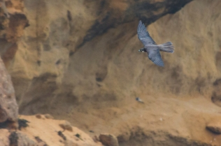 Eleonora's Falcon © Miguel González Perea