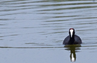 Red-knobbed Coot © Inglorious Bustards