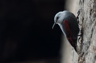 Wallcreeper © Inglorious Bustards
