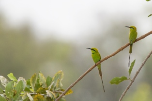 Little Green Bee-eater © Inglorious Bustards