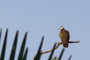 Adamawa Turtle Dove © Inglorious Bustards