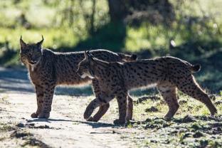 Iberian Lynx © Inglorious Bustards