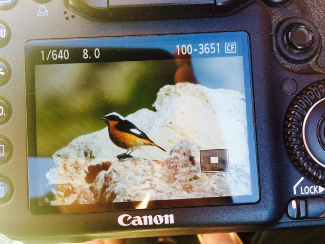 Back of camera Moussier´s Redstart
