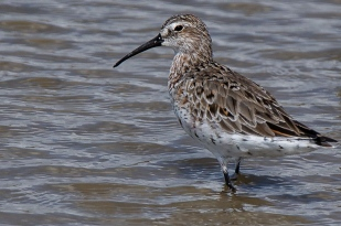 Curlew Sandpiper © Inglorious Bustards
