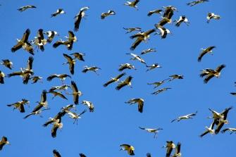 White Storks © Inglorious Bustards