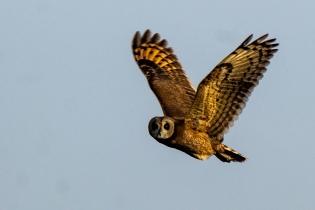Moroccan Marsh Owl © Inglorious Bustards