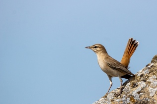Rufous-tailed Scrub-robin © Inglorious Bustards