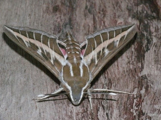 04 06860 Striped Hawk-moth - Finca la Molina - 20-03-15 (15)